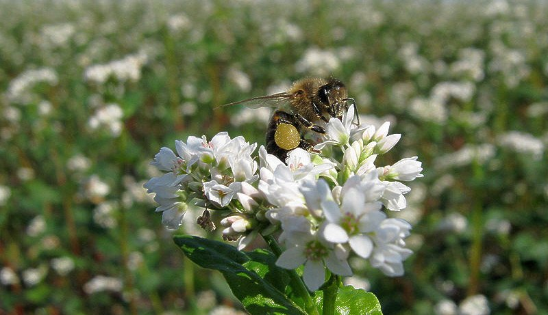 Пчела на цветке гречихи