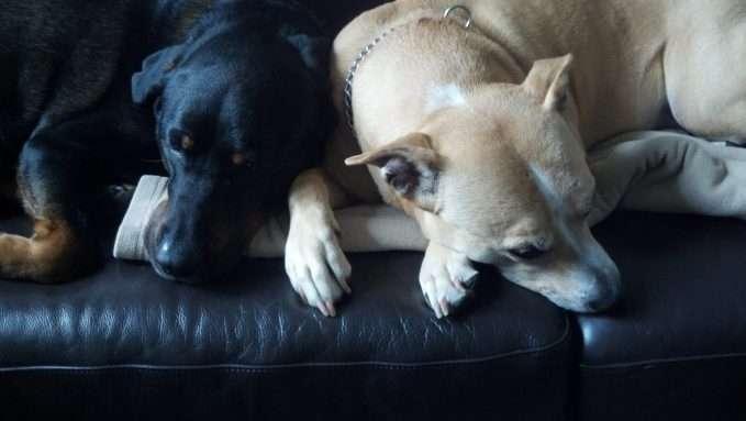 dos perros compartiendo su juguete