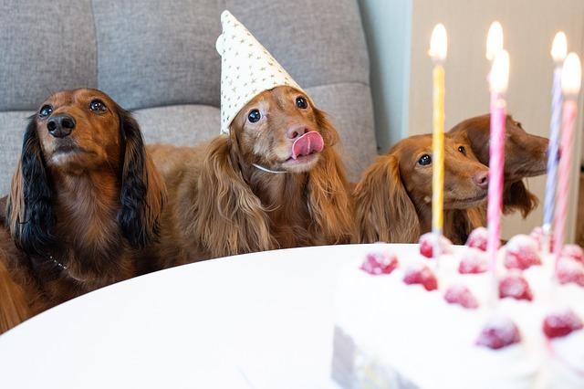 Adorables Teckel esperando su comida en un cumpleaños canino.