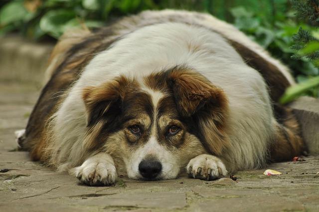 Perro con sobrepeso que tomará con gusto Eukanuba