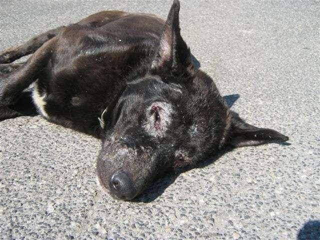 Leishmania canina