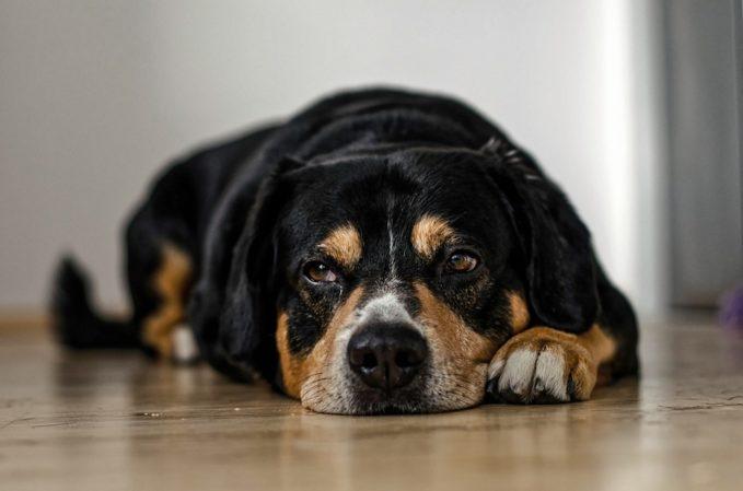 Tranquilizante para perros