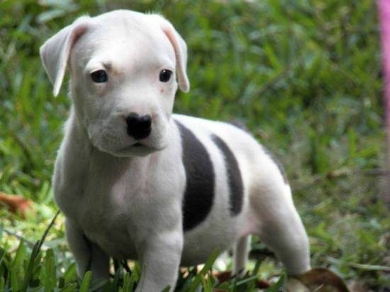 american pit bull terrier cachorro