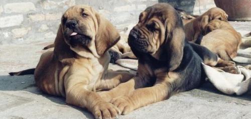 Cachorro de bloodhound