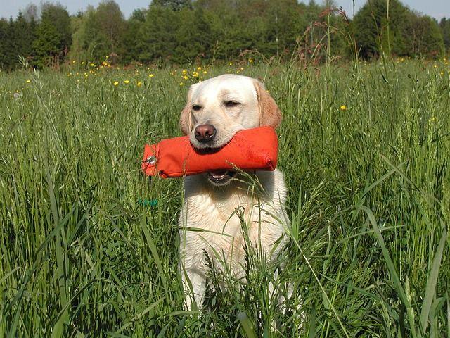 cómo cuidar un perro labrador