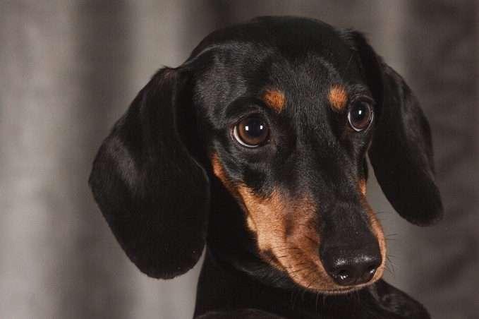 perros-salchicha