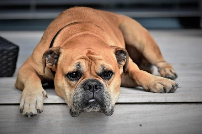 Granos en perros: ¿pueden tener los perros acné?