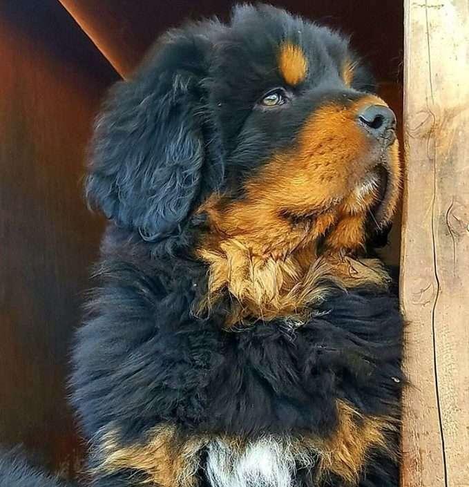 puppy-mastin-tibetano