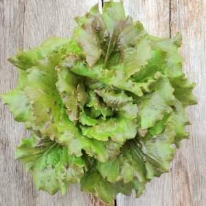 Magenta lettuce