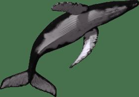 whale sperm humpback killer transprent baleine transparent tube jumping drawing giant orque toppng swim ocean downloading thank