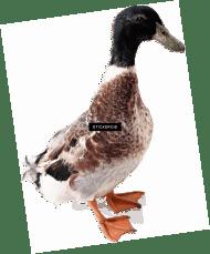 Gambar Bebek Png : gambar, bebek, Download, White, Gambar, Bebek, Images, TOPpng