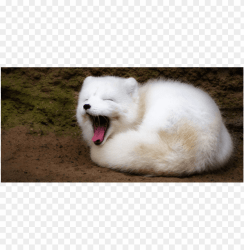 Download arctic fox png cute s clipart png photo TOPpng