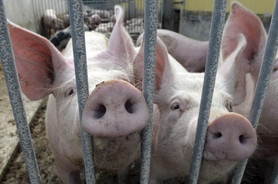 Предузете мере да се афричка куга свиња не прошири у Србији