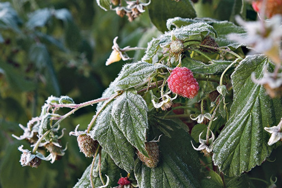 Кесеровић: Мразеви смањили род кајсије, трешње, шљиве, крушке и јабуке