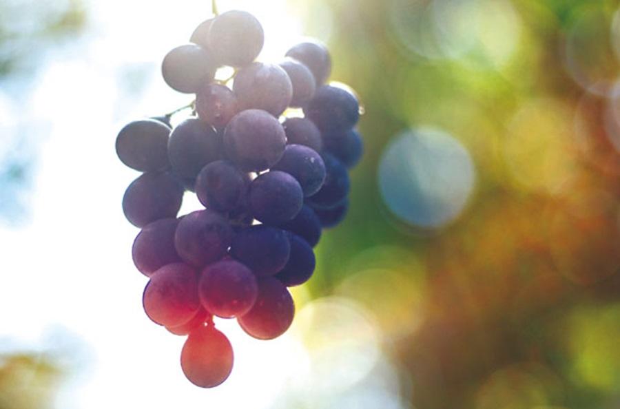 ЗАДУЖБИНА КАРАЂОРЂЕВИЋА НА ОПЛЕНЦУ: Из експерименталног винограда посебно вино