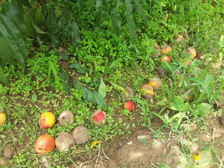 Тешка година за воћаре, берба још није ни почела а већ се завршила