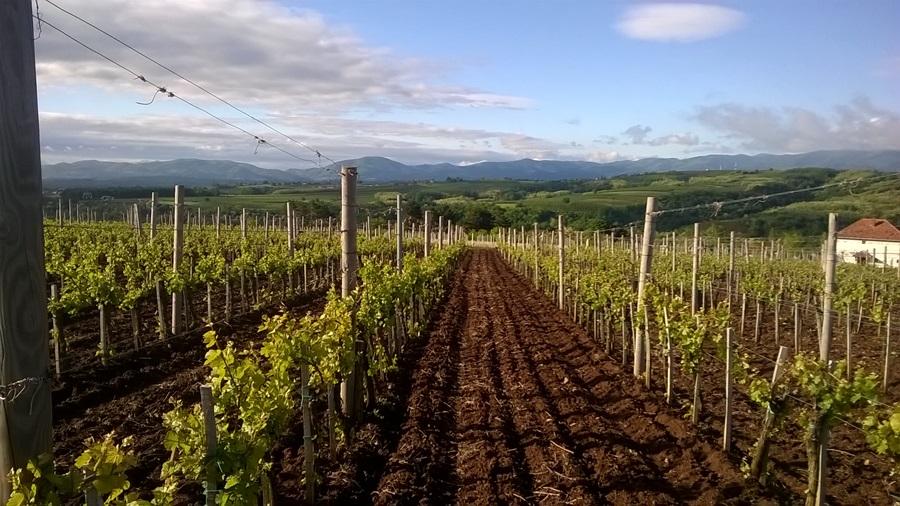Субвенције за виноградаре: За прераду грожђа до милион евра, за подизање винограда до 700.000 евра