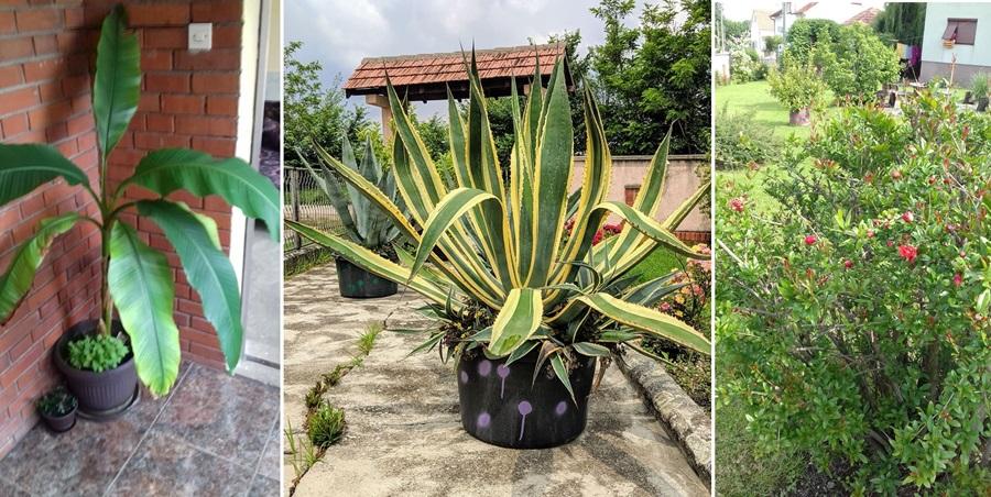 Tропске биљке у срцу Шумадије