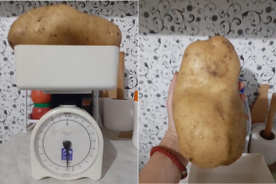 Кромпири у Тополи обарају рекорд: Три кртоле тешке око три килограма