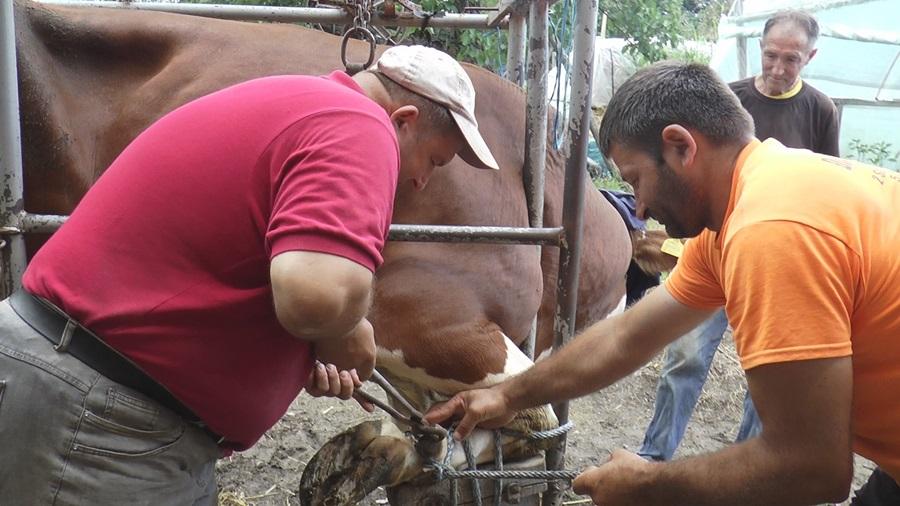 Бата Пироћанац већ годинама сређује папке кравама, и домаће животиње имају свог педикира