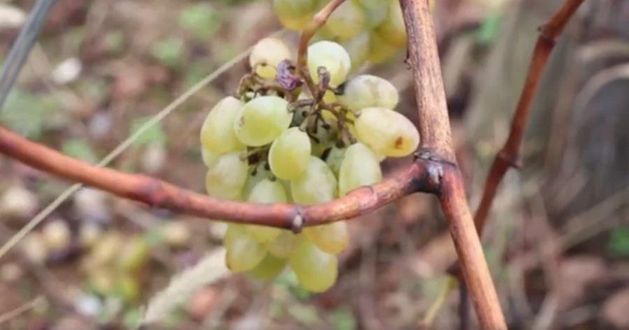 Виноградари који продају грожђе морају да се упишу у регистар