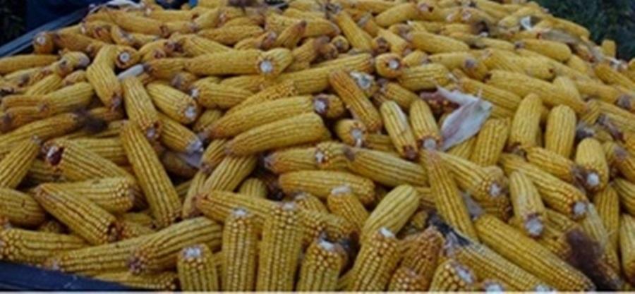 Омогућен извоз кукуруза и репиног резанца у Кину