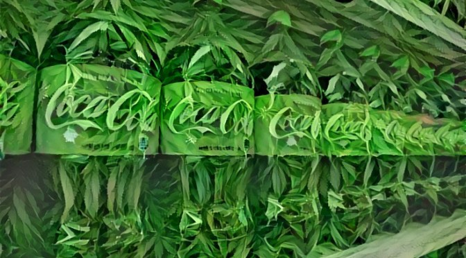 Coca-Cola considering 'healthy' cannabis-infused drinks