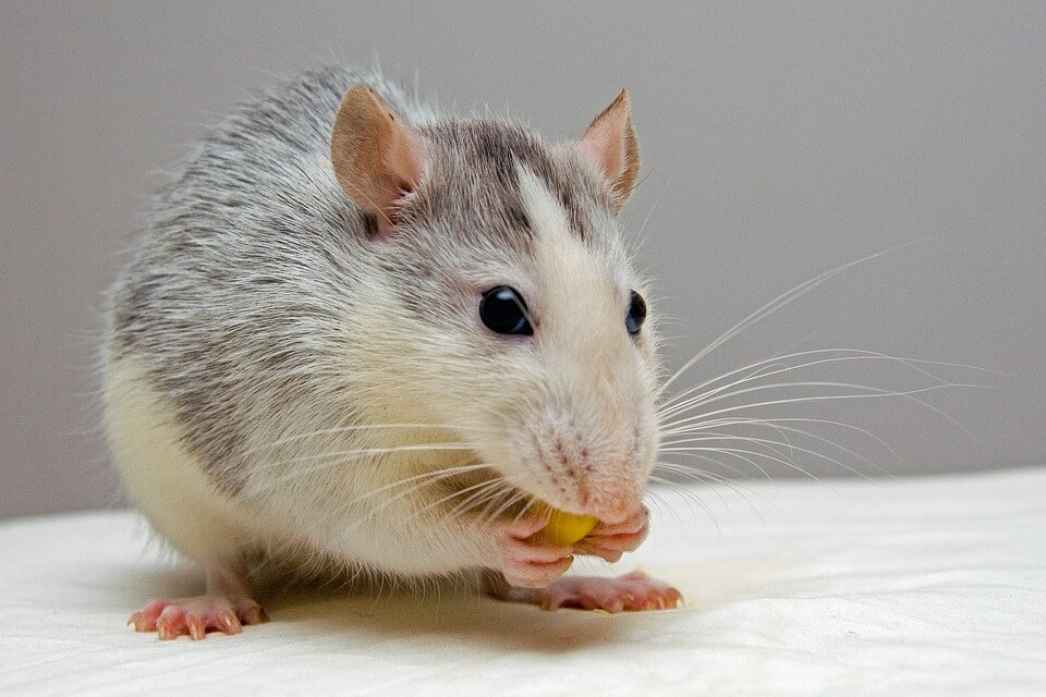 Getting rid of rats safely