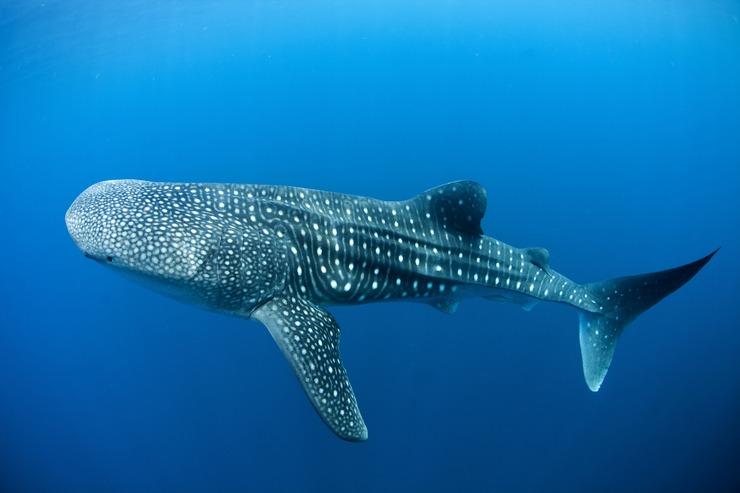 Кит акуласы чемпионаттың алақанын сенімді ұстайды, өйткені бұл бүкіл әлемге әйгілі акулалар ғана емес, барлық балықтардың ішінде ғана емес
