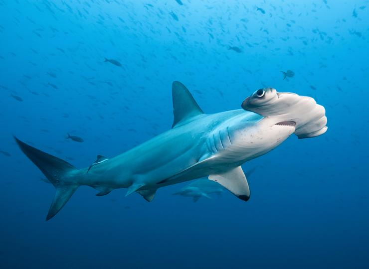 Үлкен балғашы акула дененің үлкен мөлшеріне байланысты деп аталады