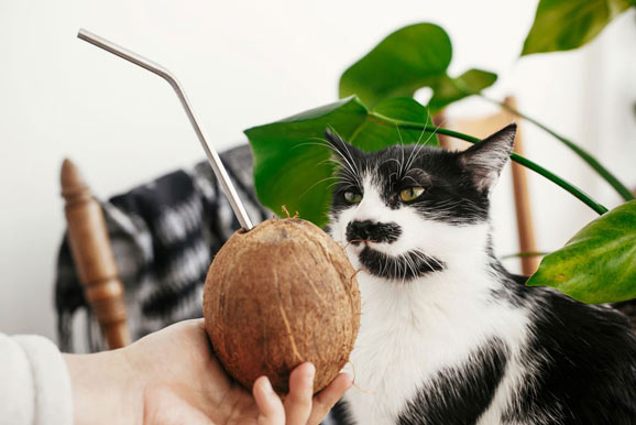 How much coconut is safe for cats