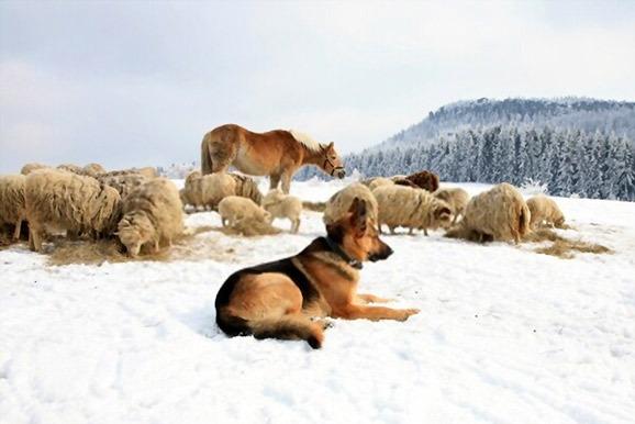 how-much-do-German-Shepherds-weigh