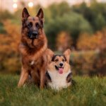 how-much-does-a-German-Shepherd-cost
