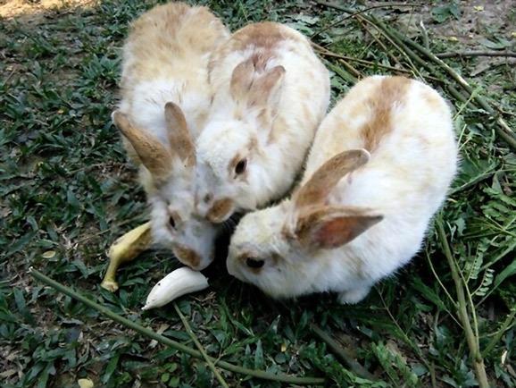 sensitivity to bananas in rabbits