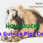 How much do guinea pigs cost