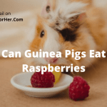 Can Guinea Pigs Eat Raspberries