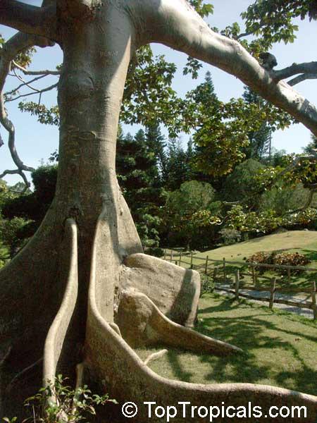 Ceiba pentandra Kapok tree Silk Cotton Tree  TopTropicalscom