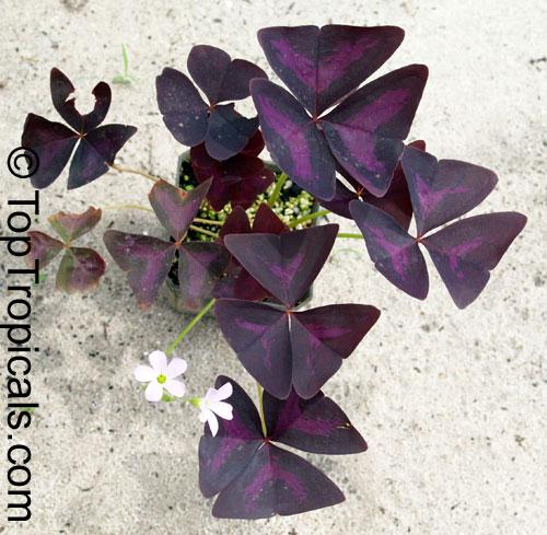 Oxalis triangularis Oxalis regnellii Purple Shamrock