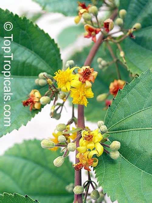 Grewia asiatica Grewia subinaequalis Phalsa Falsa  TopTropicalscom
