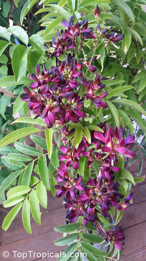Millettia Reticulata Evergreen Wisteria Summer Wisteria