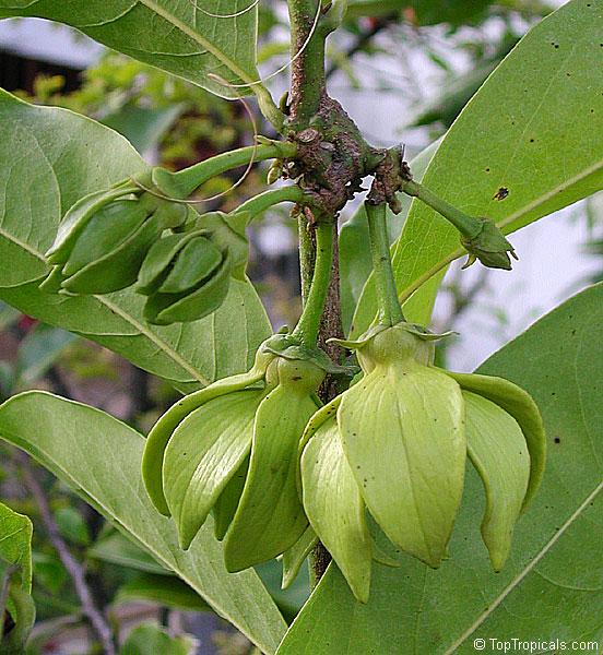 Artabotrys hexapetalus Artabotrys odoratissimus