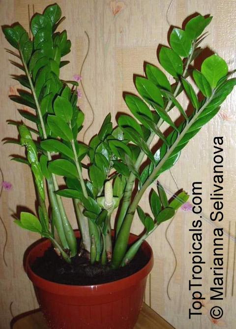 Zamioculcas zamiifolia Caladium zamiaefolium Zamioculcas