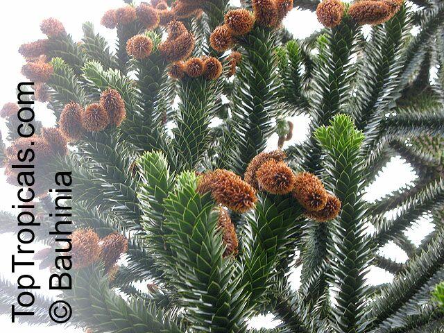Araucaria Araucana Araucaria Imbricata Monkey Puzzle Tree Chilean Pine