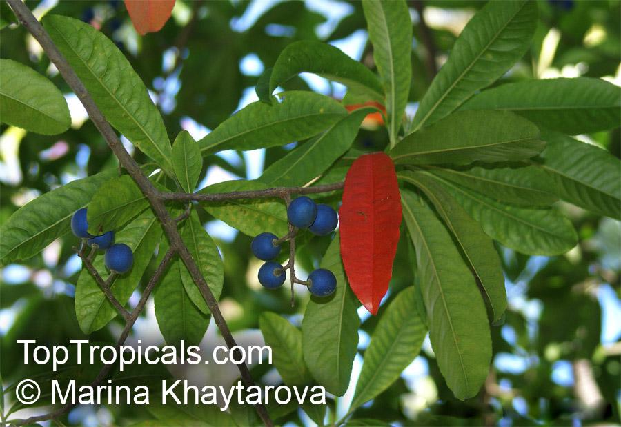 Elaeocarpus angustifolius Blue Fig  TopTropicalscom