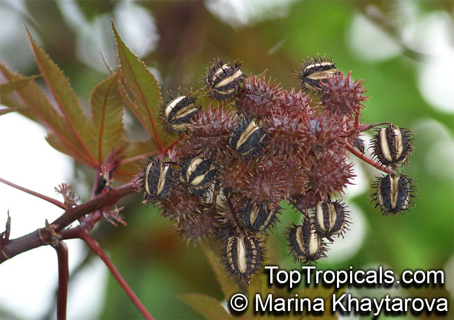 Ricinus Communis Castorbean Castor Oil Plant Palma