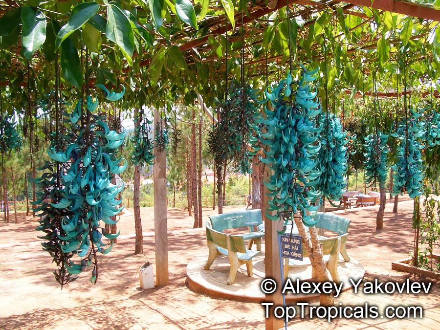 Strongylodon Macrobotrys Turquoise Jade Vine Blue Jade