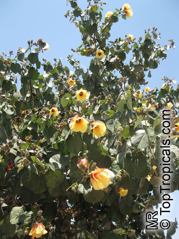 Hibiscus tiliaceus Talipariti tiliaceum Mahoe