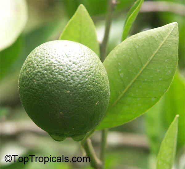 Citrus x tangelo Tangelo Honeybell Minneola Tangelo