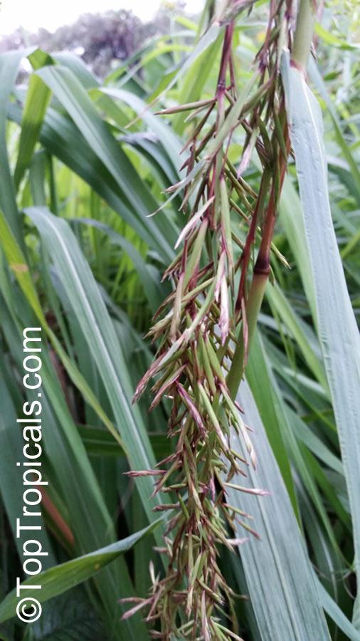 Cymbopogon citratus Lemon Grass Oil Grass  TopTropicalscom