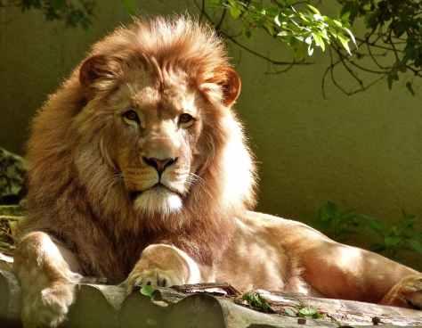 close up portrait of lion